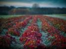 L1007464 Jesień wpuszczona w truskawki