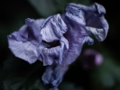 _DSC5139 Hibiscus