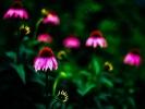 IMG011 Echinacea purpurea
